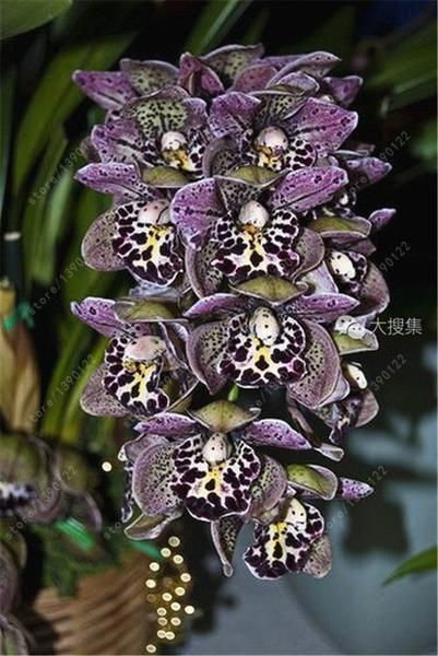 100 Pcs Chinese Cymbidium Orchid Balcony Decoration Flowers Seeds Supply Cymbidium Orchids Orchid Seeds Rare Orchids
