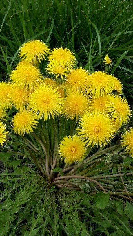 Karahindiba | Цветок, Цветы и Фотографии цветов