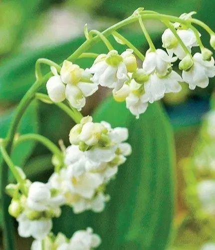 Lily Of The Valley Plant How To Grow Care For Convallaria Majalis In 2020 Bulb Flowers Growing Lilies Lily Of The Valley