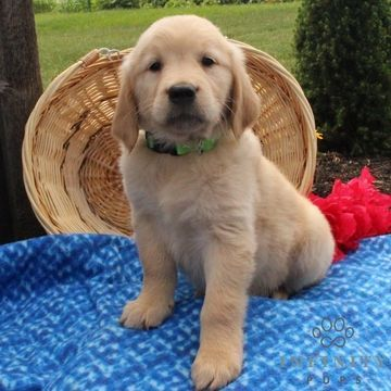 Golden Retriever Puppy For Sale In Gap Pa Adn 35137 On