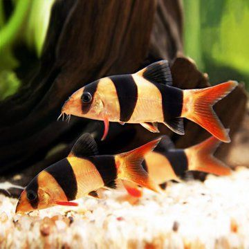 Clown Loaches In 2020 Tropical Freshwater Fish Fish Freshwater Catfish