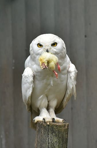 Pin By Imaginemix Ask إسأل On Music Sounds In 2020 Owl Animals Snowy Owl