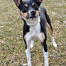 Michigan City Indiana Rat Terrier Meet Beanbean A For Adoption Https Www Adoptapet Com Pet 24890681 Michigan City Indiana Rat Rat Terriers Terrier Pets