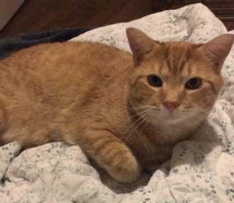 Adopt Peter Pan On Feline Leukemia Pet Adoption Cats