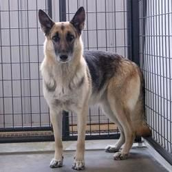 Colorado Springs Co German Shepherd Dog Meet Acey A Pet For