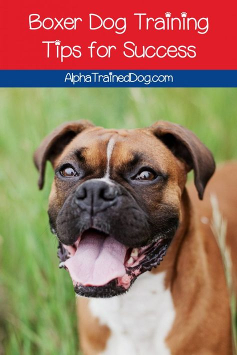 Boxer Dog Training Tips For Success Alpha Trained Dog Boxer Dogs Training Boxer Dogs Dog Training