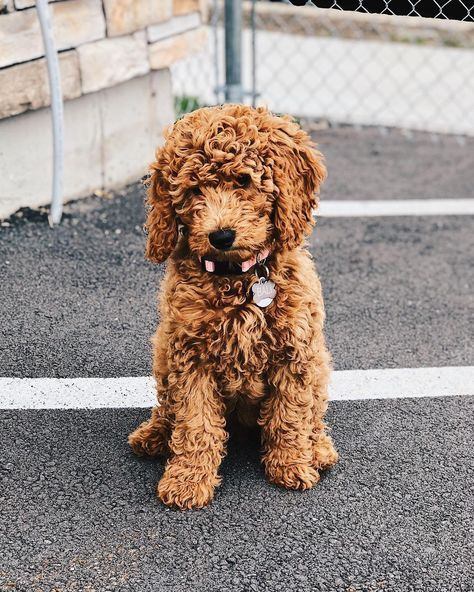 8 Things To Know About The Miniature Goldendoodle Miniaturegoldendoodle Cutepuppies Goldendoodle Miniature Goldendoodle Puppies Goldendoodle Puppy Puppies
