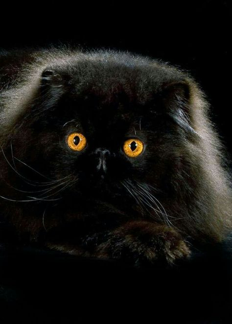 10 Most Popular Flat Faced Cat Breeds In The World Cats Himalayan Cat Flat Faced Cat