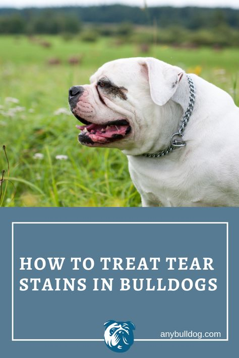 How To Treat Tear Stains In Bulldogs Tear Stains