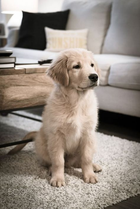 Golden Retriever Puppy At Home Cutest Pictures Of Dogs And
