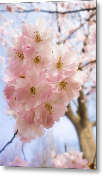 Pink Spring Blossom Light Blue Sky Metal Print By Matthias Hauser In 2021 Pink Spring Pink Spring Flowers Spring Blossom