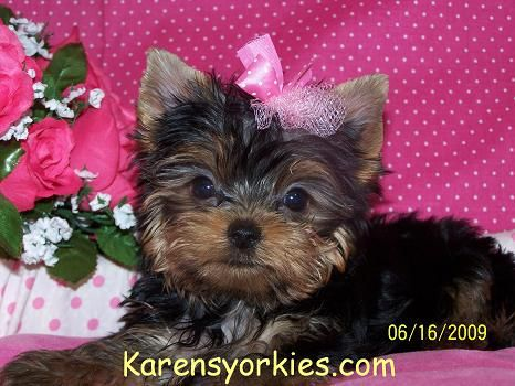 Yorkies For Sale Yorky Breeder Yorky Puppies Yorkshire Terrier Yorkshire Terriers For Sale Teacup Yorky Co Yorkie Puppy For Sale Yorkie Yorkshire Terrier