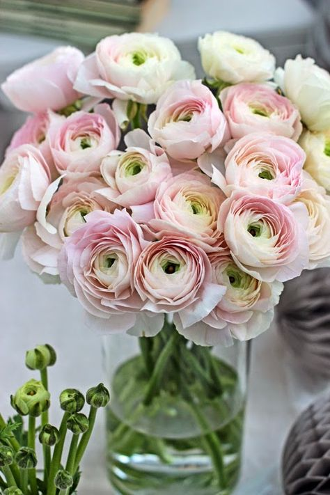 Pale Pink Cloni Ranunculus