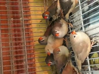 Birds Rehome Buy And Sell Preloved In 2020 Zebra Finch