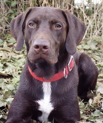 German Shorthaired Pointer and lab mix , this looks just
