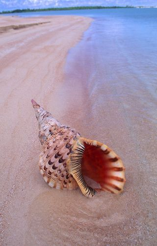 Trumpet shell in sand, Tahiti, French Polynesia ~ Douglas Peebles Photography - Erika Villa Sea And Ocean, Ocean Beach, Pink Beach, Tahiti French Polynesia, Shell Beach, Am Meer, Ocean Life, Sea Creatures, Belle Photo