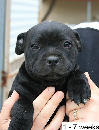 Pit Bulls Acting Cute Video Cute Small Dogs Staffy Dog Puppies