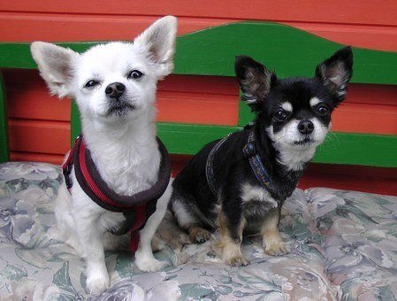 Chihuahua Service Dog For Sale