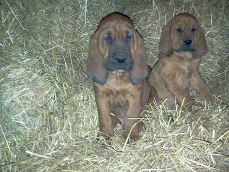 Bloodhound Puppies Bloodhound Puppies Grand Dog Hound Dog