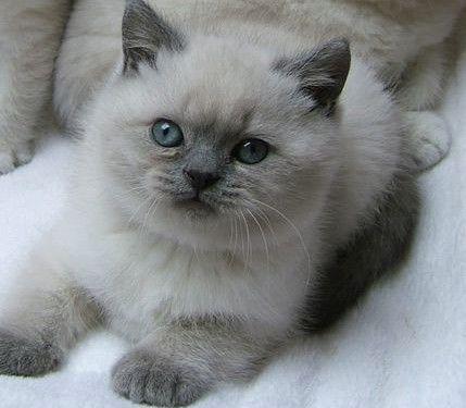 Gorgeous Purebred British Shorthair Kittens Gatti E Gattini