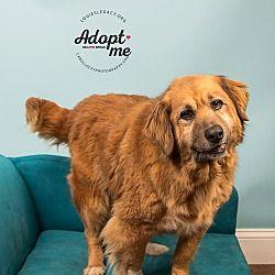 Miss Ollie Golden Retriever Chow Chow Mix Female 10 Yrs Old Louie S Legacy Animal Rescue Cincinnati Oh Golden Retriever Pets Animals