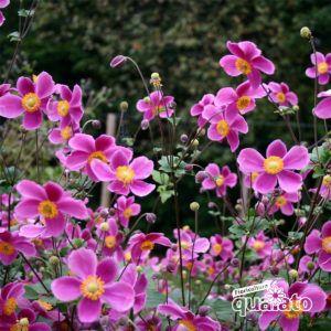 Fiori Quaiato.Piante Perenni Fiorite Floricoltura Quaiato Piante Perenni