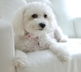 Maltipoos For Adoption Private Malti Poo Rehoming Services Designer Dogs Breeds Maltipoo Dog Maltipoo