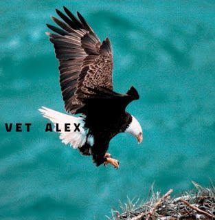 النسر الاصلع او الامريكي او نسر الرخماء كل المعلومات عنه The American Eagle Bald Eagle American Eagle Animals