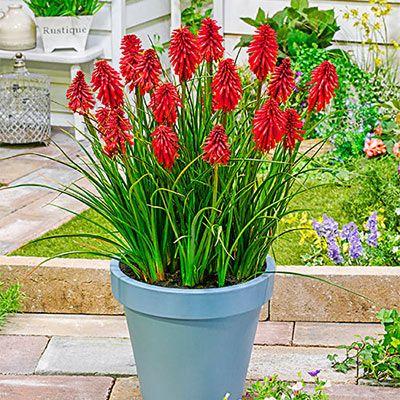 Reblooming Dwarf Kniphofia Poco Red Bulb Flowers Perennials Sun Perennials