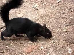 Ardilla Negra Animales