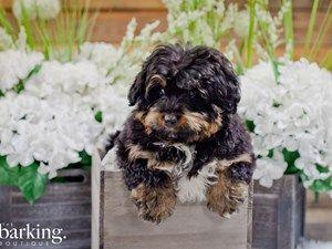 Puppies For Sale Puppies For Sale Puppies Mini Bernedoodle