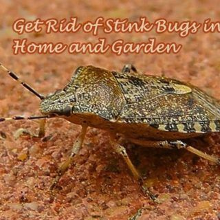 698c824a2dd6d3e7b2dc5f11b96d6a4a - How To Get Rid Of Stink Bugs At Home