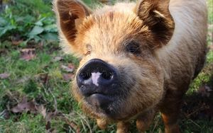 Preview wallpaper pig, muzzle, nose, grass | Pig, Pigs quote, Cozy ...