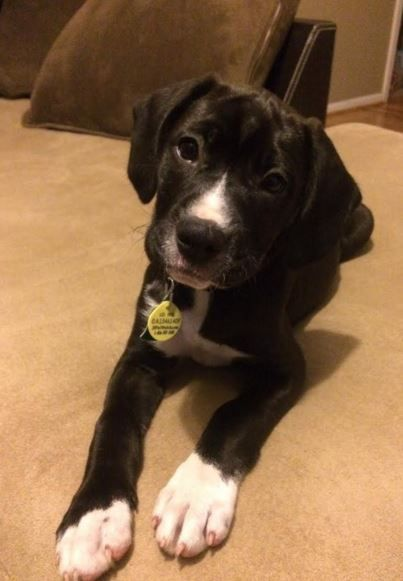 Luna Lovely Lab Boxer Mix For Adoption To Loving Family Near Norcross Ga Boxador Puppies Lab Puppies Boxer Puppies