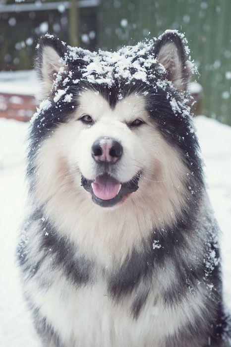 Bts 8th Member Doggo Taehyung Alaskan Dog Alaska Dog
