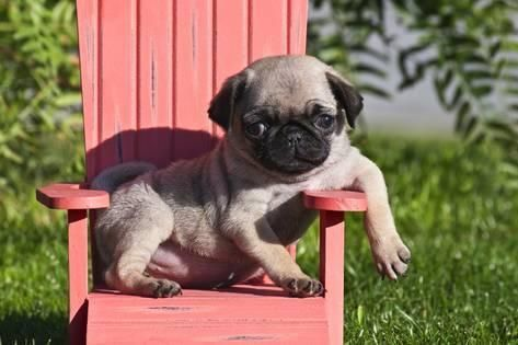 Photographic Print Usa California Pug Puppy Slouching On A
