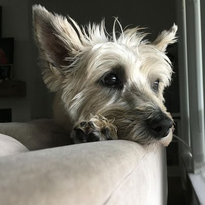 Col Potter Cairn Rescue Network 2019 Cairn Terrier Cairn Rescue