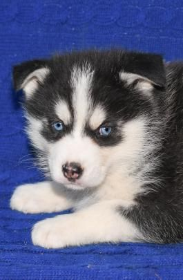 Babyblueeyes Siberianhusky Puppies Are In A Class Of Their