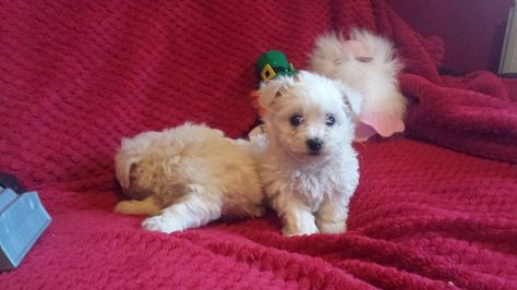 Dogs For Sale In Ireland Dogs For Sale Dogs Bichon