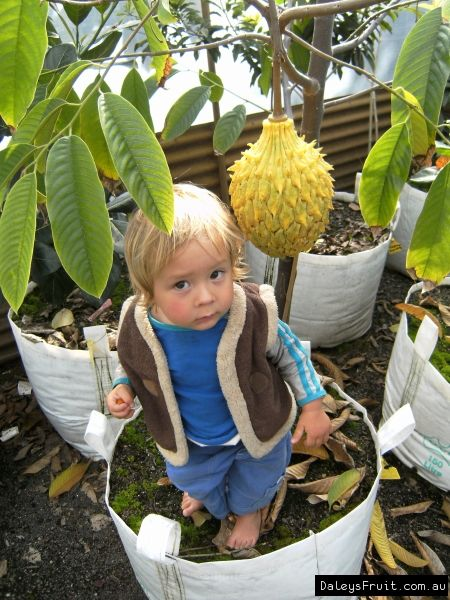 Rollinia Torin Brazillian Custard Apple Lemon Meringue Pie Flavour Apple Fruit Fruit Trees Fruit
