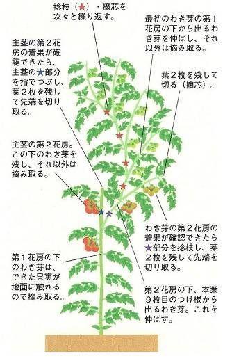 とまとの整枝 連続摘芯栽培 トマトの栽培 家庭菜園 栽培
