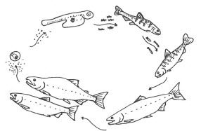 Salmon Life Cycle Kids Activities Bccurriculum Licensed For Non