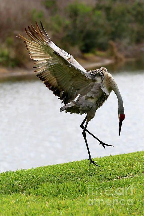 Drama In World Of Birds Sandhill Crane >> Dramatic Sandhill Crane Leap Copyright Carol Groenen Carol