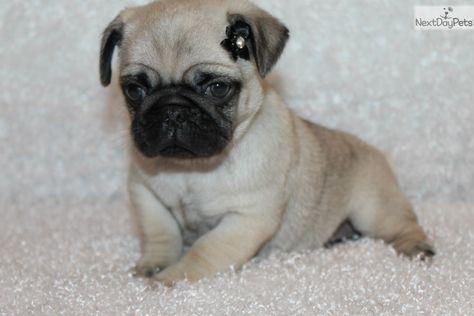 Pug Puppy For Sale Near Mcallen Edinburg Texas E80fe280 8961