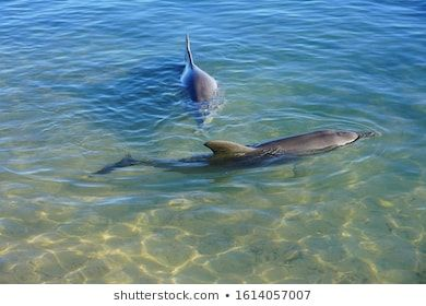 Two Wild Dolphins In The Water In Shark Bay Australia Animal Australia Australian Bay Blue Couple Dolphin Env In 2020 Shark Dolphins Gardens By The Bay
