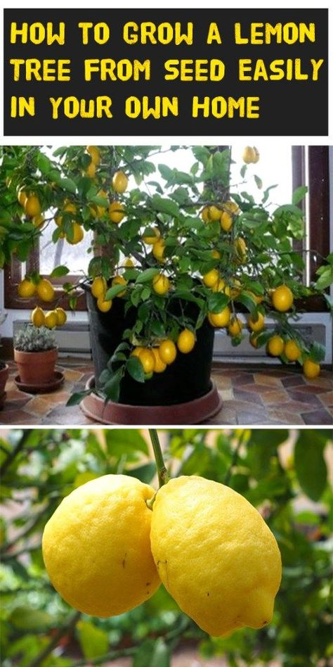 How to Grow a Lemon Tree from Seed Easily in Your Own Home