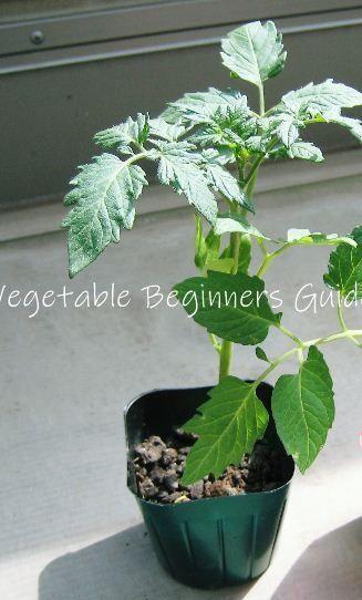 ミニトマト プチトマト の育て方と栽培のコツ プチトマト 栽培