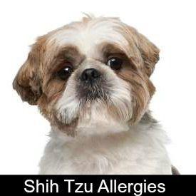 Shih Tzu Allergies Everything You Must Know Shih Tzu Shih Tzu