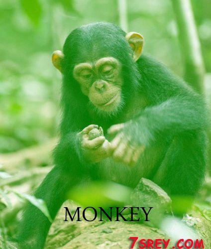 نتائج البحث عن صور عالية الجودة Animals Monkey Pics