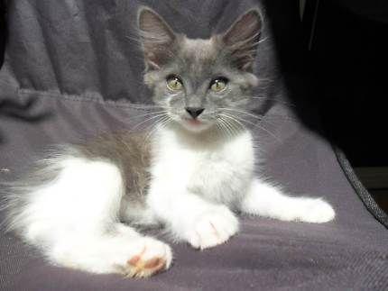 10wk Old Beautiful Flufy Kittens Cats Kittens Gumtree Australia Redland Area Cleveland 1178657680 猫